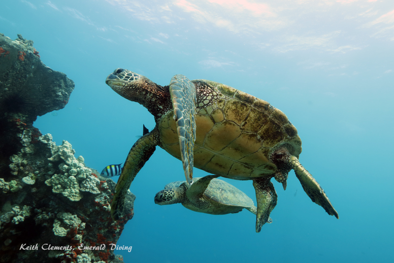 Sea-Turtle_Green_MalaWharfHI_10171