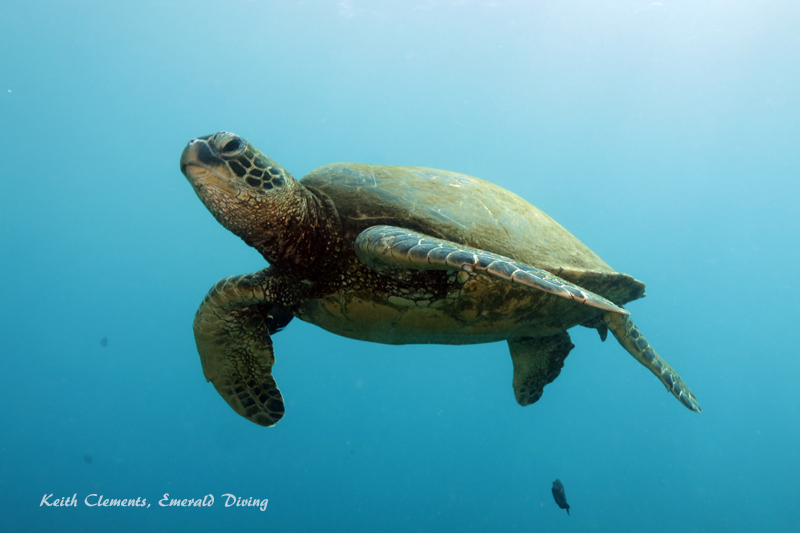 Sea-Turtle_Green_MalaWharfHI_10172