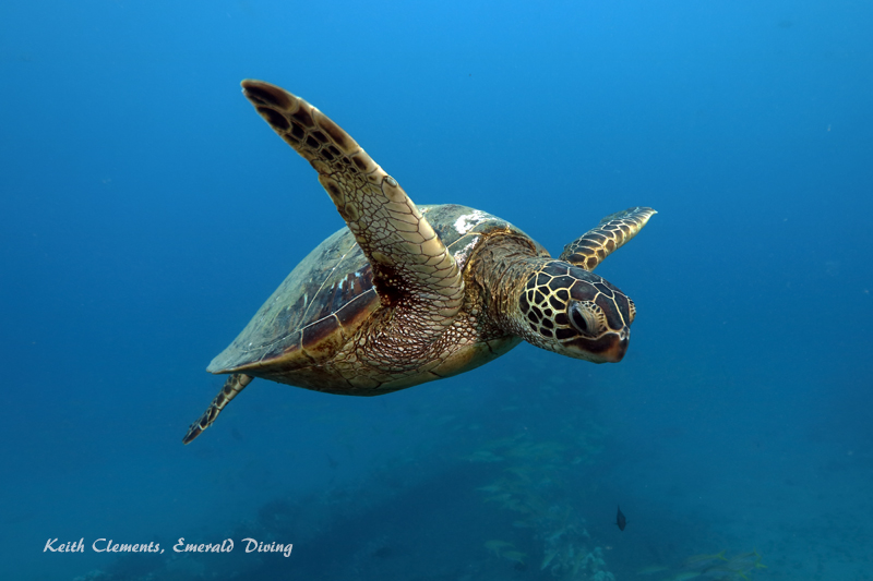 Sea-Turtle_Green_MalaWharfHI_10173