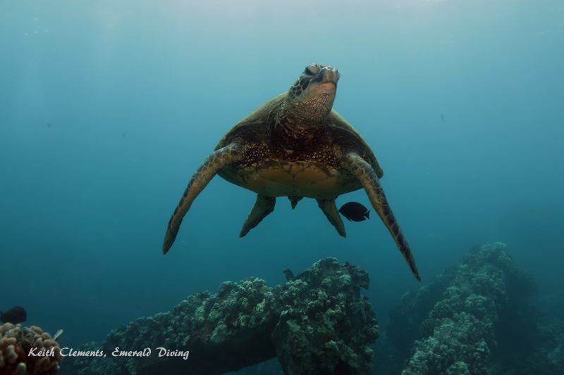 Sea-Turtle_Green_MalaWharfHI_10174