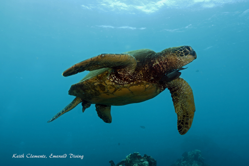 Sea-Turtle_Green_MalaWharfHI_10175