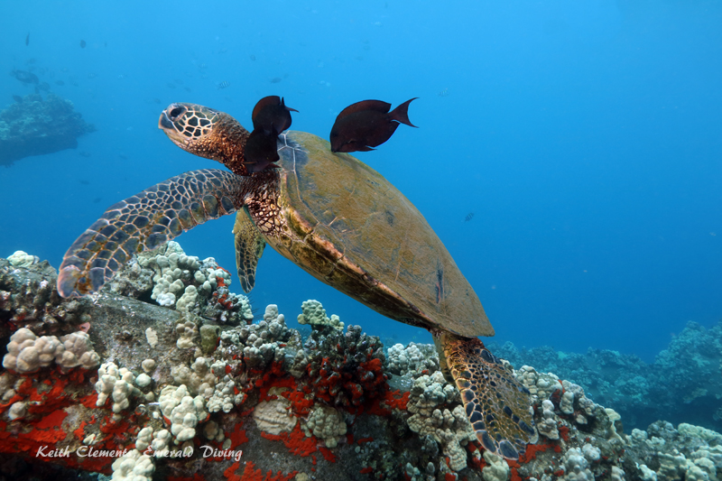 Sea-Turtle_Green_MalaWharfHI_10177
