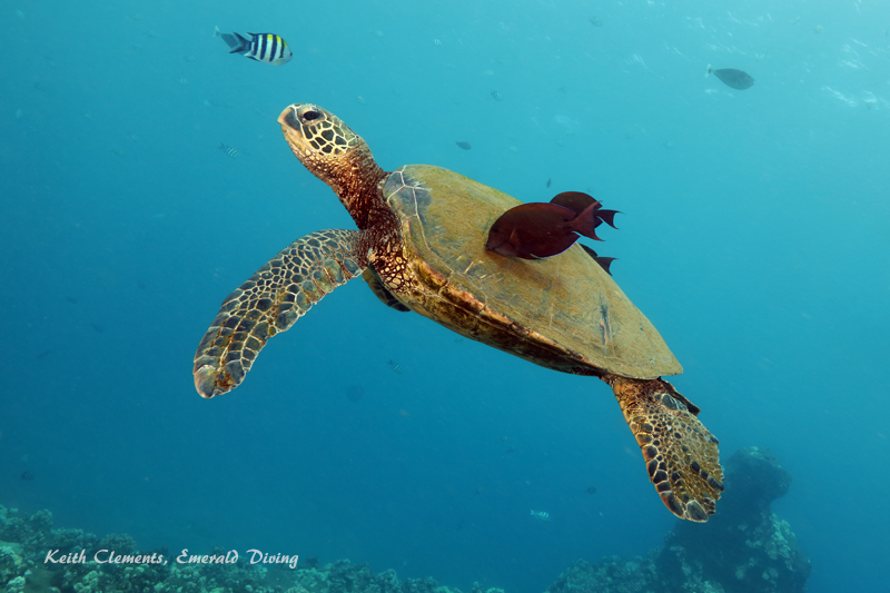 Sea-Turtle_Green_MalaWharfHI_10178