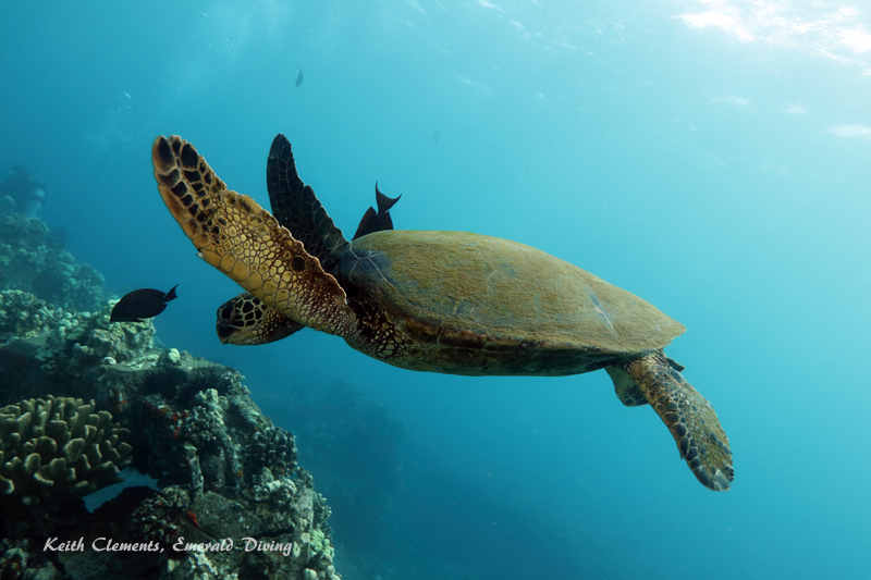 Sea-Turtle_Green_MalaWharfHI_10179