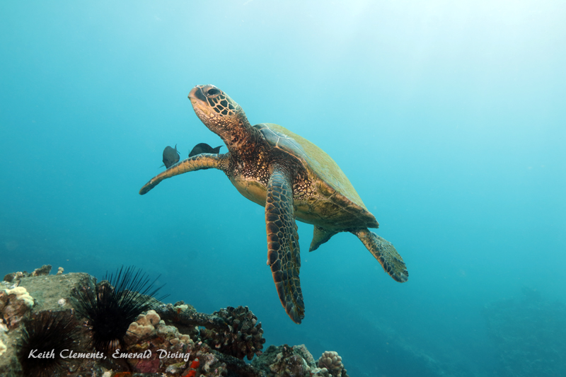 Sea-Turtle_Green_MalaWharfHI_10180