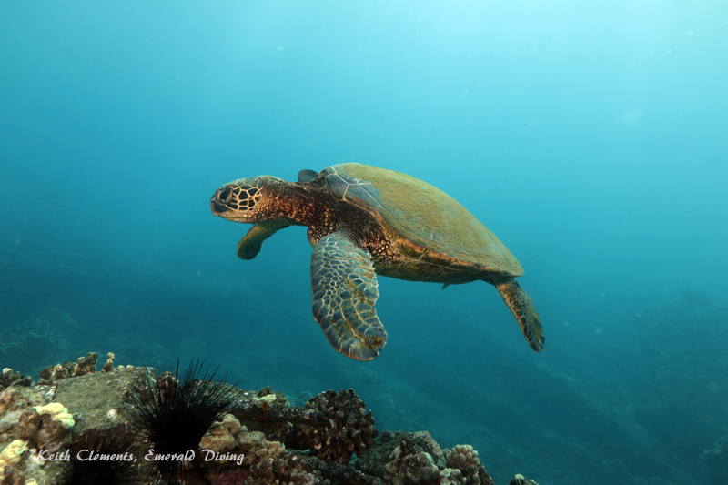 Sea-Turtle_Green_MalaWharfHI_10181