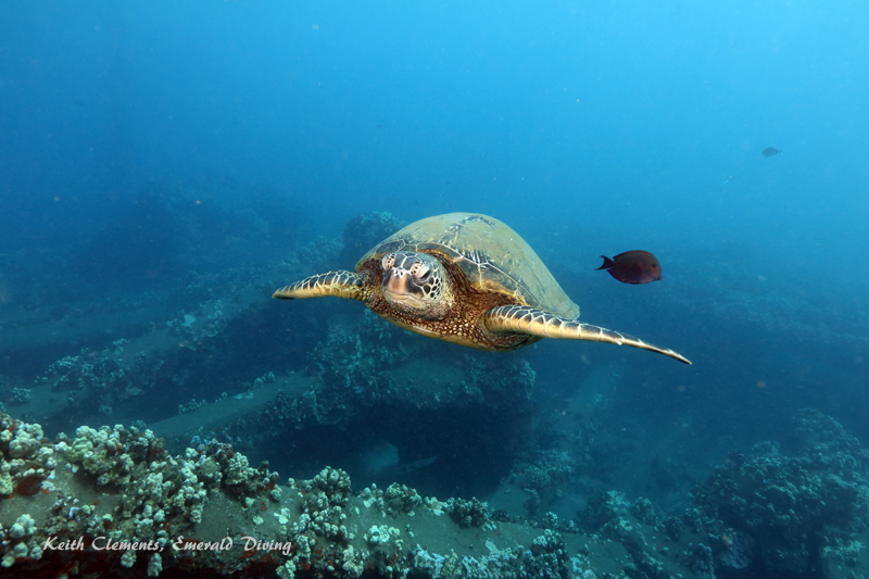Sea-Turtle_Green_MalaWharfHI_10182