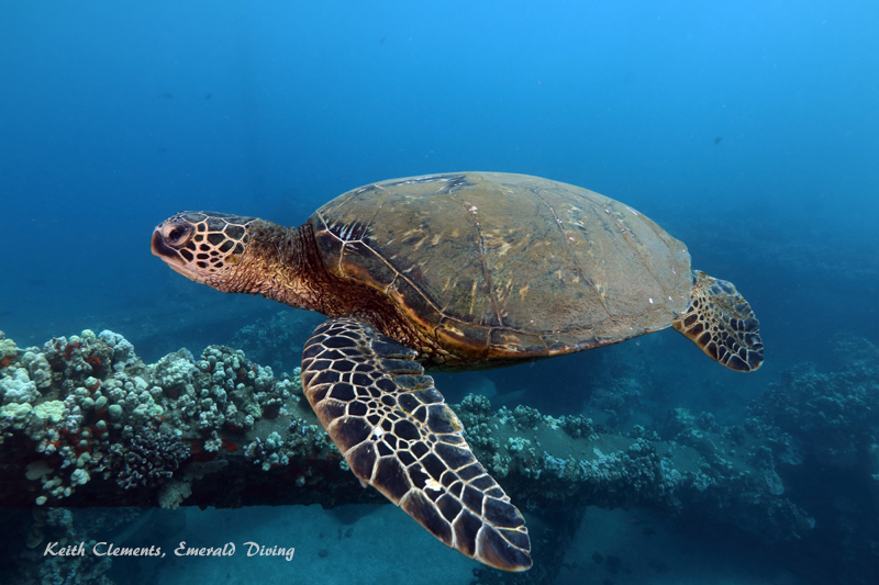 Sea-Turtle_Green_MalaWharfHI_10184