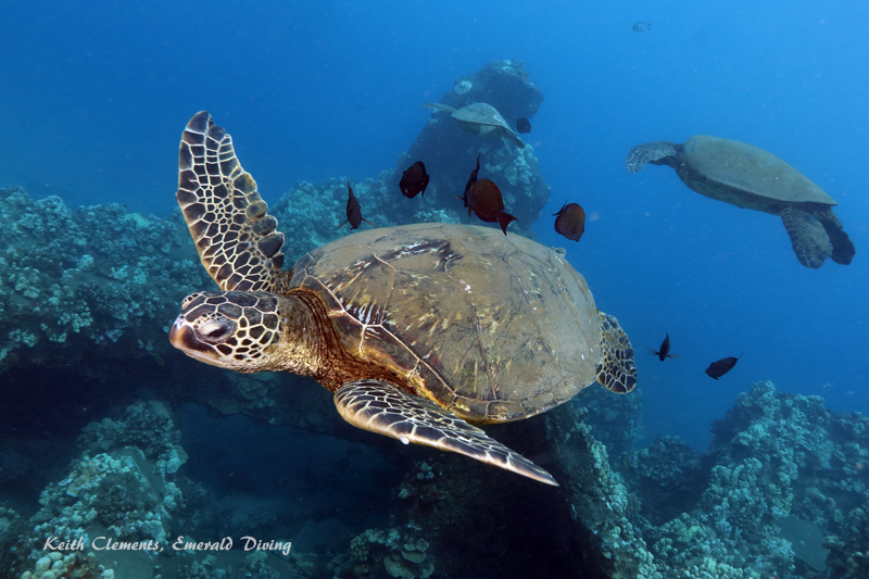 Sea-Turtle_Green_MalaWharfHI_10185