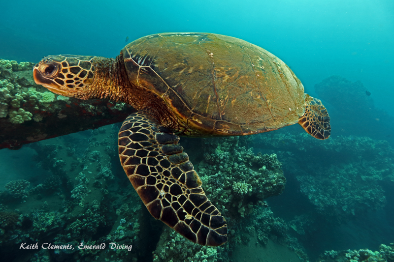 Sea-Turtle_Green_MalaWharfHI_10186