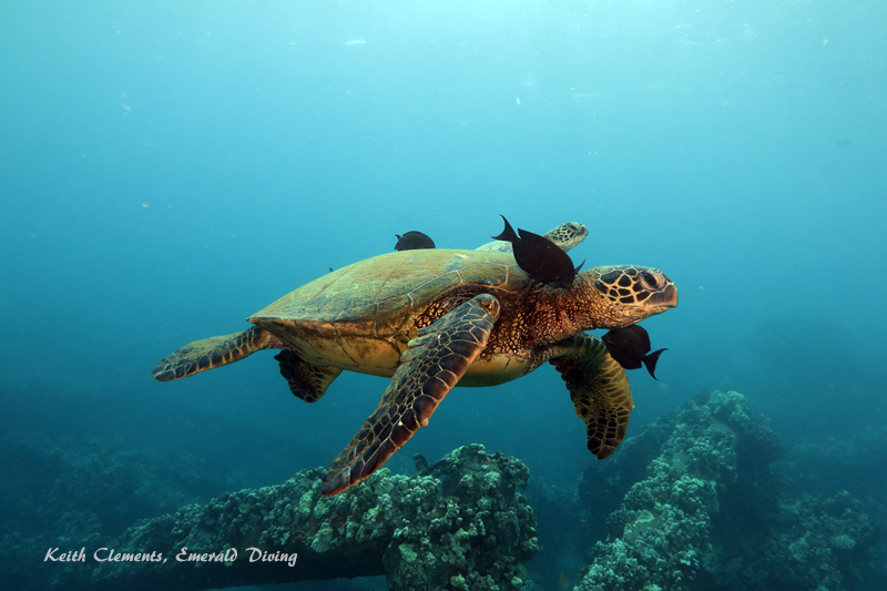 Sea-Turtle_Green_MalaWharfHI_10190