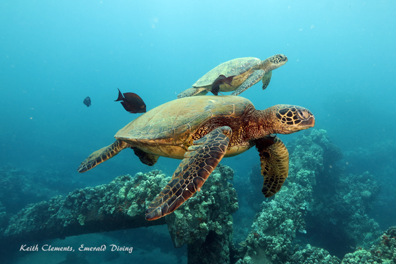 Sea-Turtle_Green_MalaWharfHI_10191