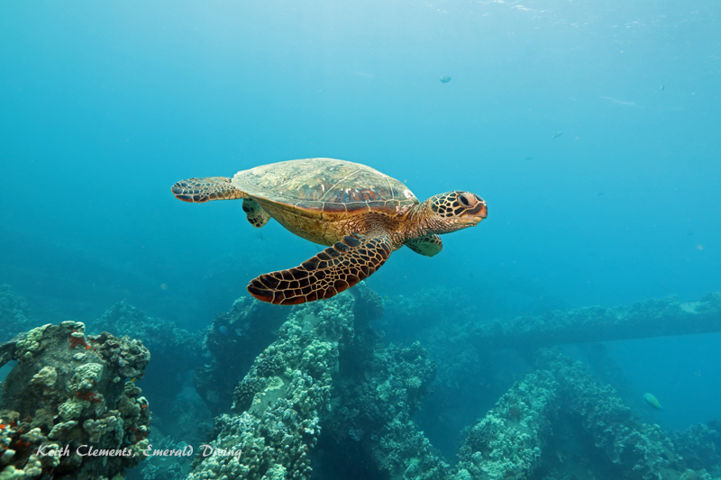 Sea-Turtle_Green_MalaWharfHI_10193