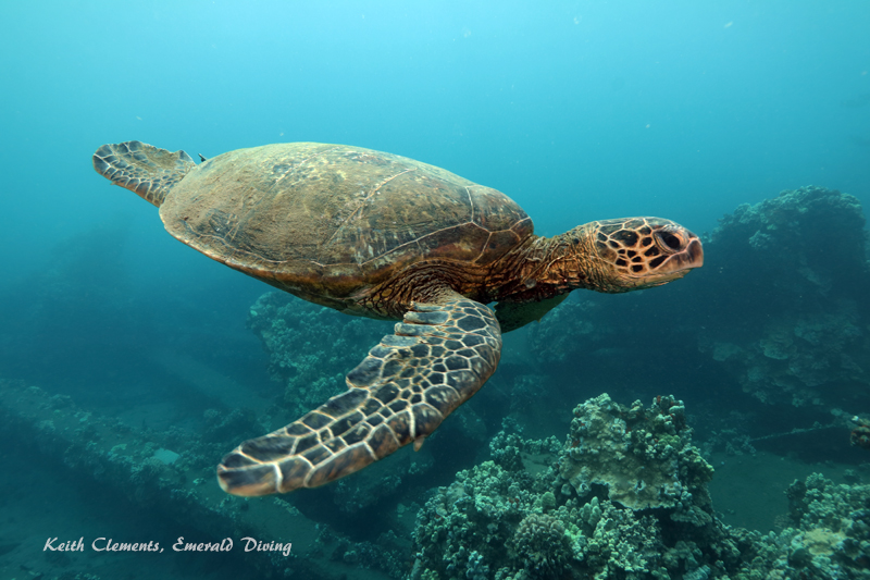 Sea-Turtle_Green_MalaWharfHI_10194