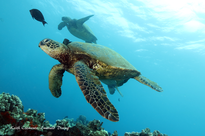Sea-Turtle_Green_MalaWharfHI_10204