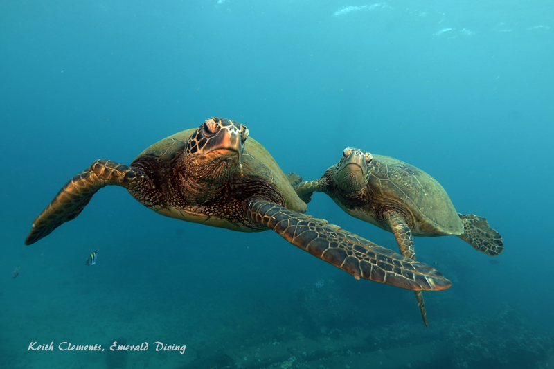 Sea-Turtle_Green_MalaWharfHI_10211