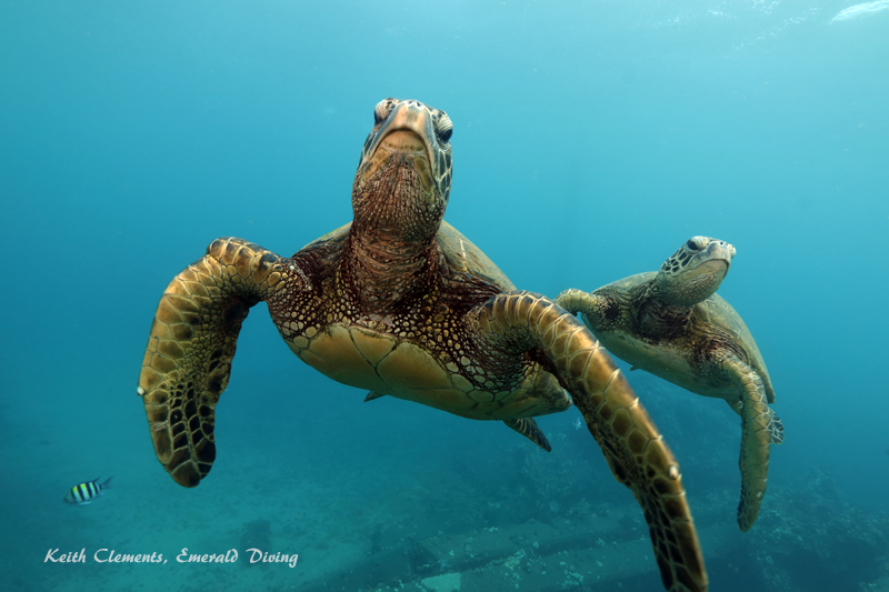 Sea-Turtle_Green_MalaWharfHI_10212