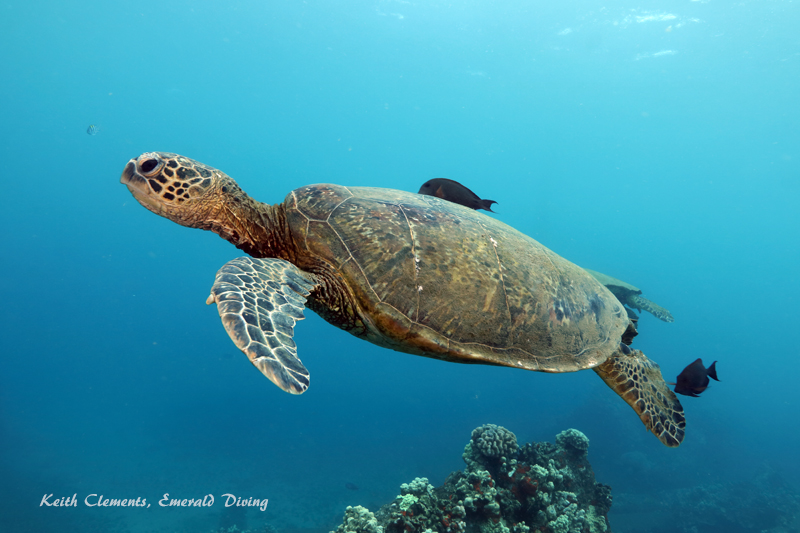 Sea-Turtle_Green_MalaWharfHI_10219