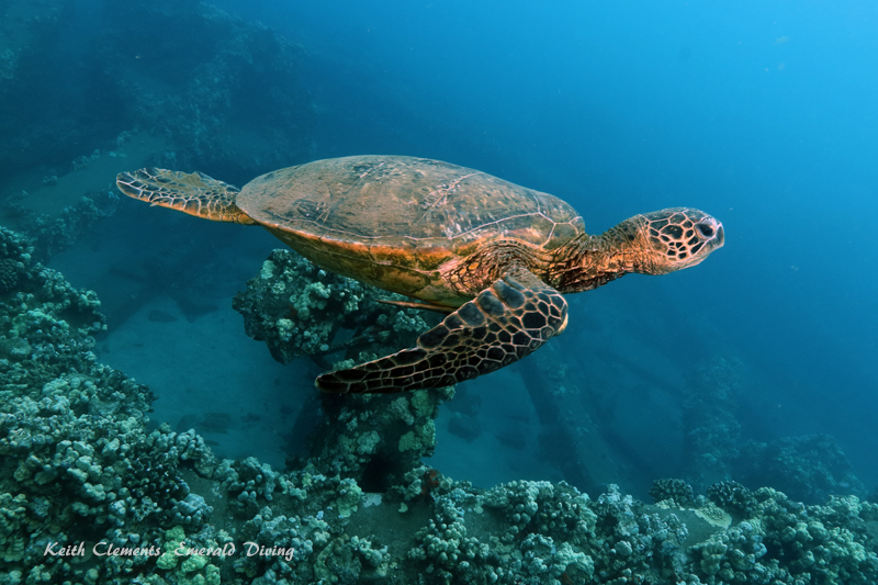 Sea-Turtle_Green_MalaWharfHI_10220