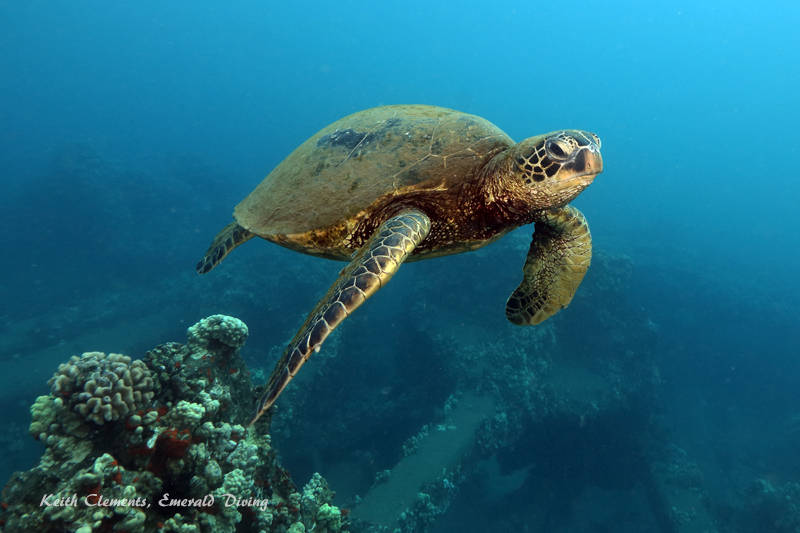 Sea-Turtle_Green_MalaWharfHI_10221