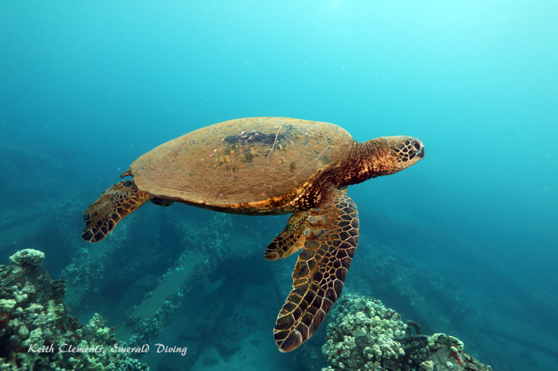 Sea-Turtle_Green_MalaWharfHI_10222