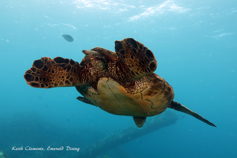 Sea-Turtle_Green_MalaWharfHI_10223