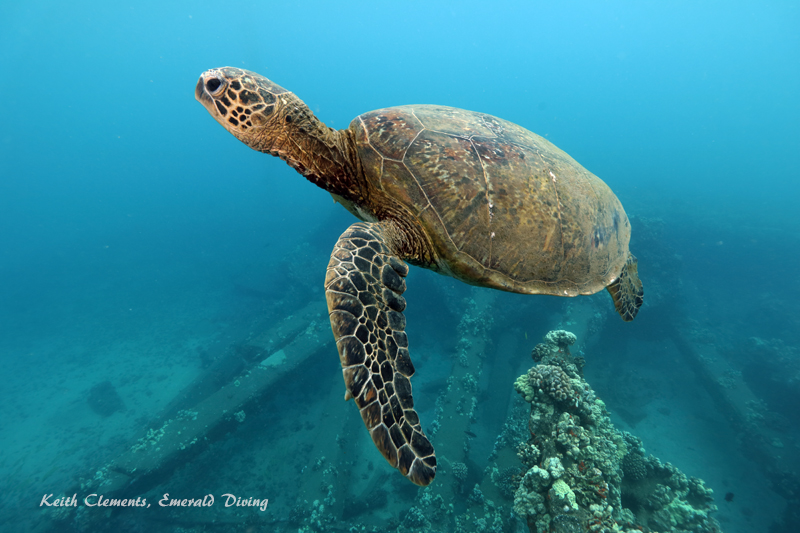 Sea-Turtle_Green_MalaWharfHI_10226