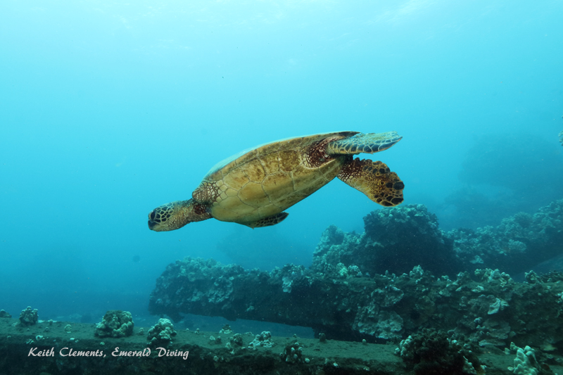 Sea-Turtle_Green_MalaWharfHI_10227