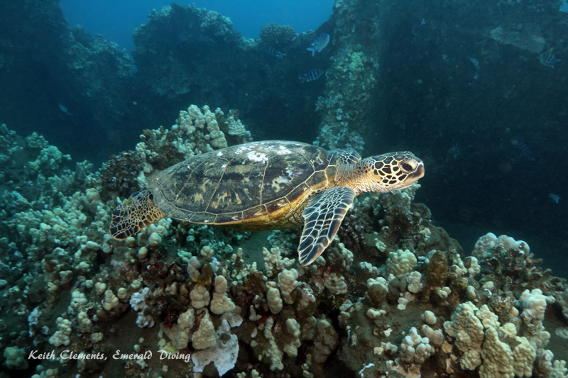 Sea-Turtle_Green_MalaWharfHI_10230