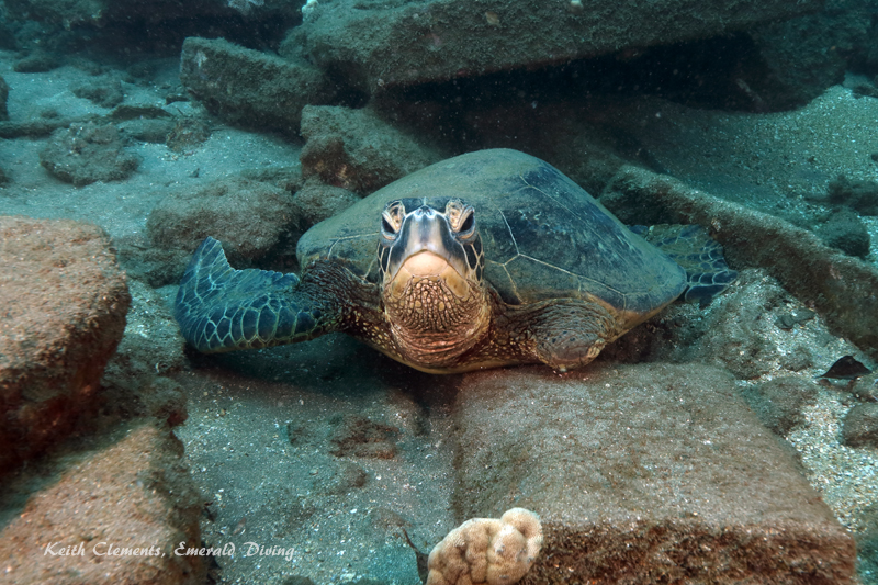 Sea-Turtle_Green_MalaWharfHI_10231