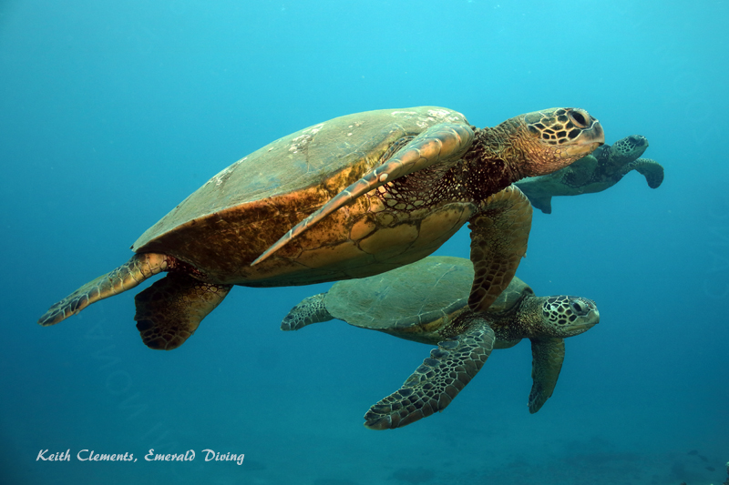 Sea-Turtle_Green_MalaWharfHI_10235