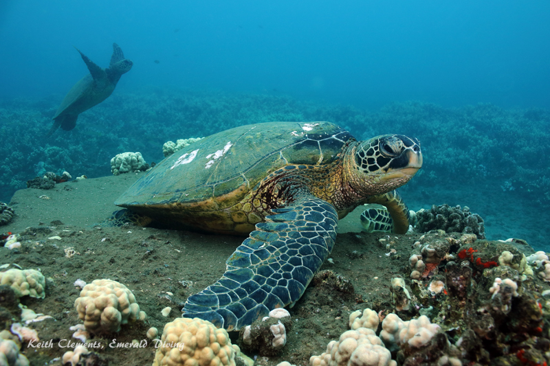 Sea-Turtle_Green_MalaWharfHI_10239