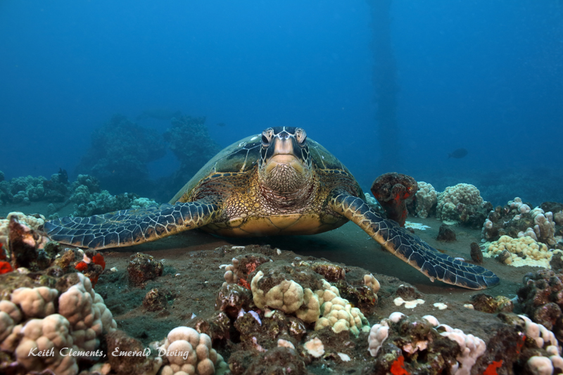Sea-Turtle_Green_MalaWharfHI_10259