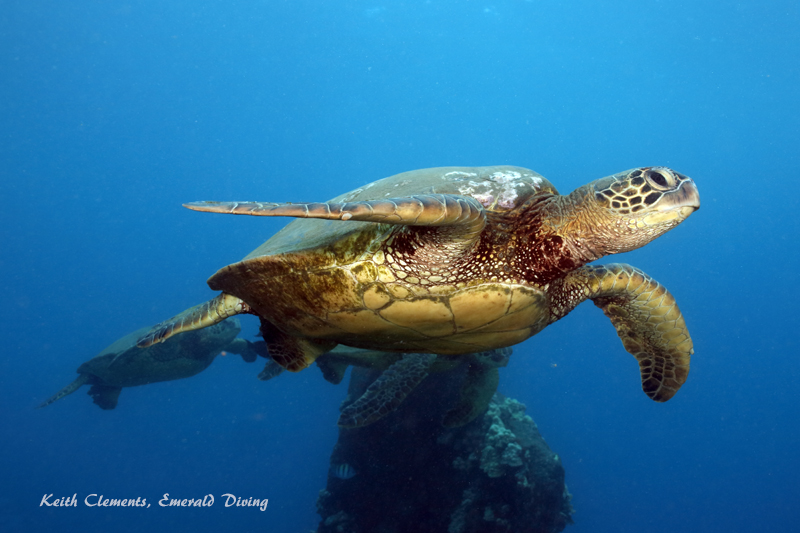 Sea-Turtle_Green_MalaWharfHI_10264