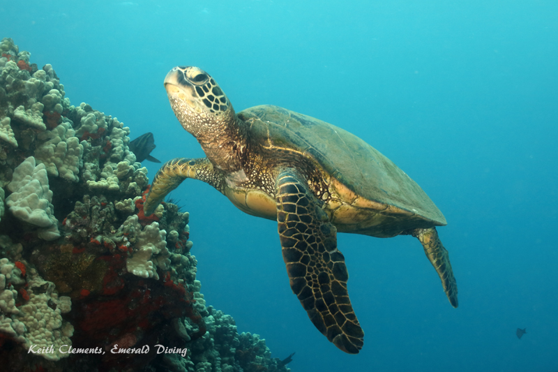 Sea-Turtle_Green_MalaWharfHI_10265