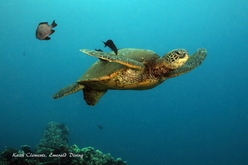 Sea-Turtle_Green_MalaWharfHI_10266