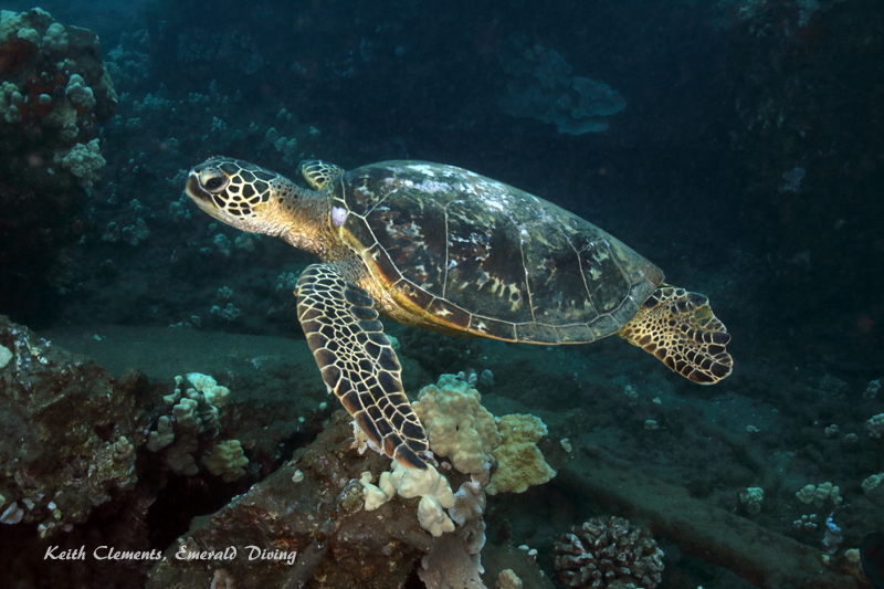 Sea-Turtle_Green_MalaWharfHI_10272
