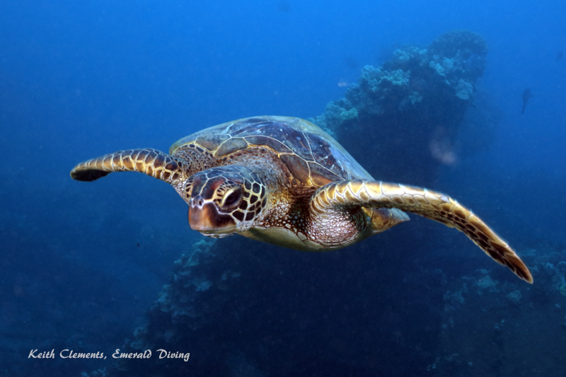 Sea-Turtle_Green_MalaWharfHI_10273