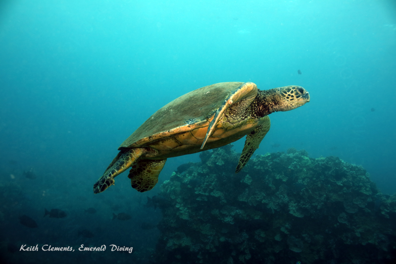 Sea-Turtle_Green_MalaWharfHI_10275