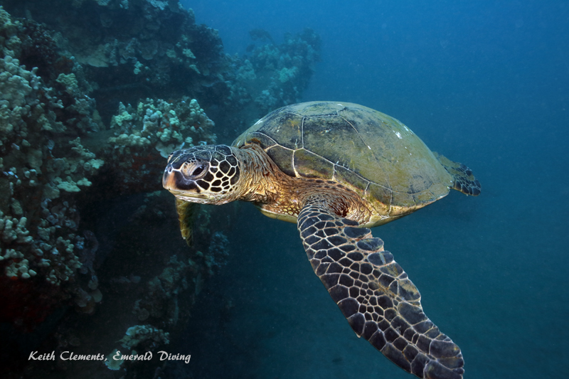 Sea-Turtle_Green_MalaWharfHI_10276