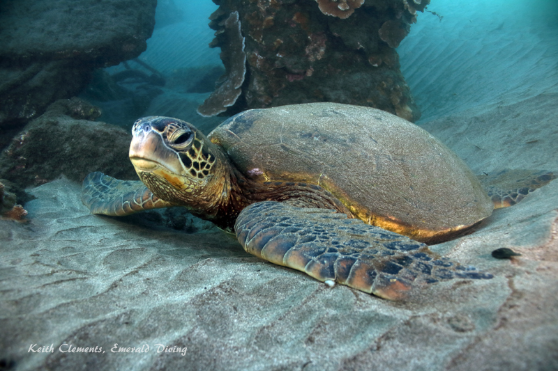 Sea-Turtle_Green_MalaWharfHI_9945