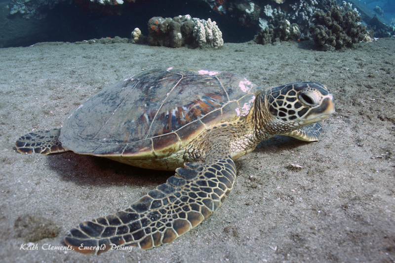 Sea-Turtle_Green_MalaWharfHI_9946