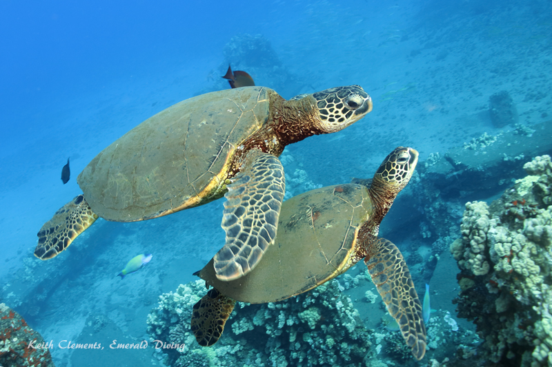 Sea-Turtle_Green_MalaWharfHI_9949