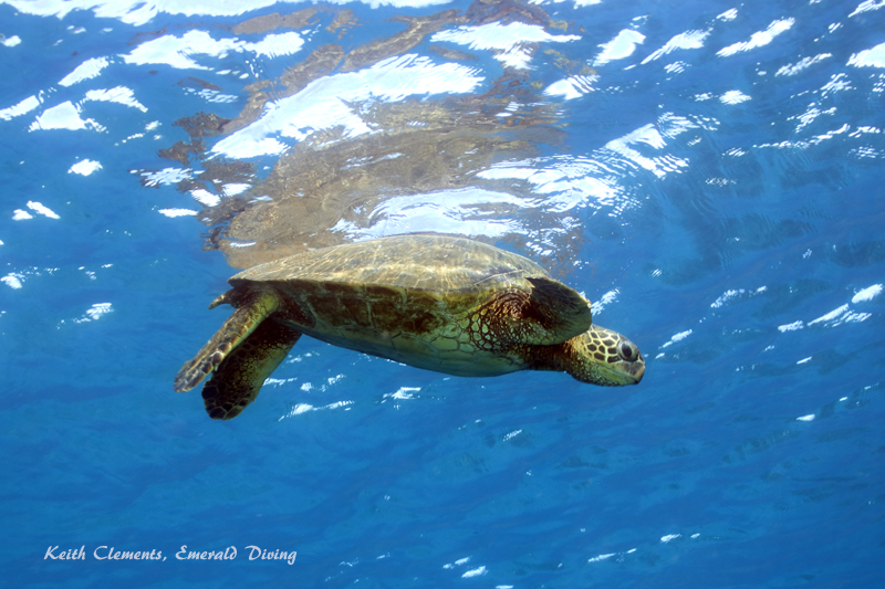 Sea-Turtle_Green_MalaWharfHI_9950