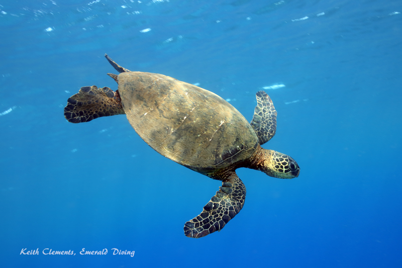 Sea-Turtle_Green_MalaWharfHI_9951