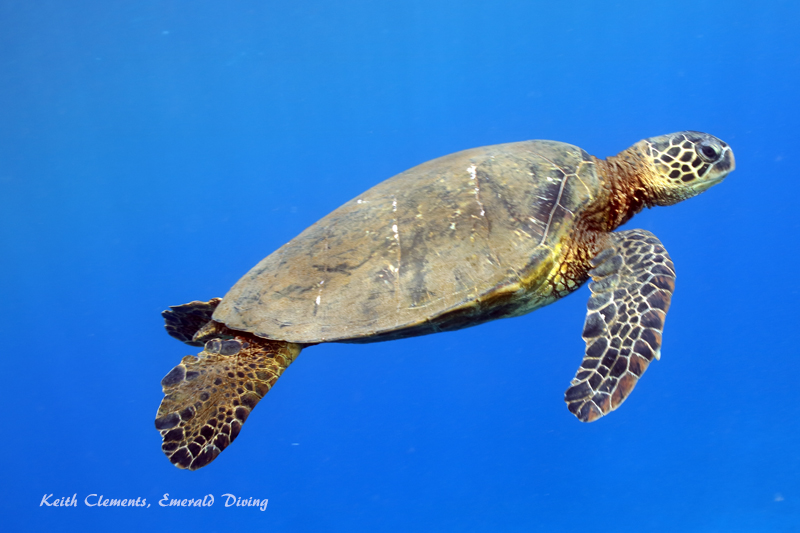 Sea-Turtle_Green_MalaWharfHI_9952