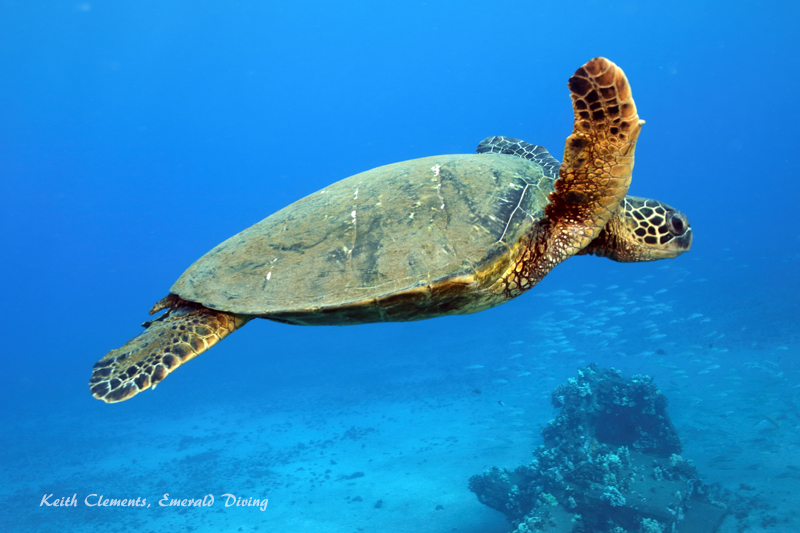 Sea-Turtle_Green_MalaWharfHI_9954
