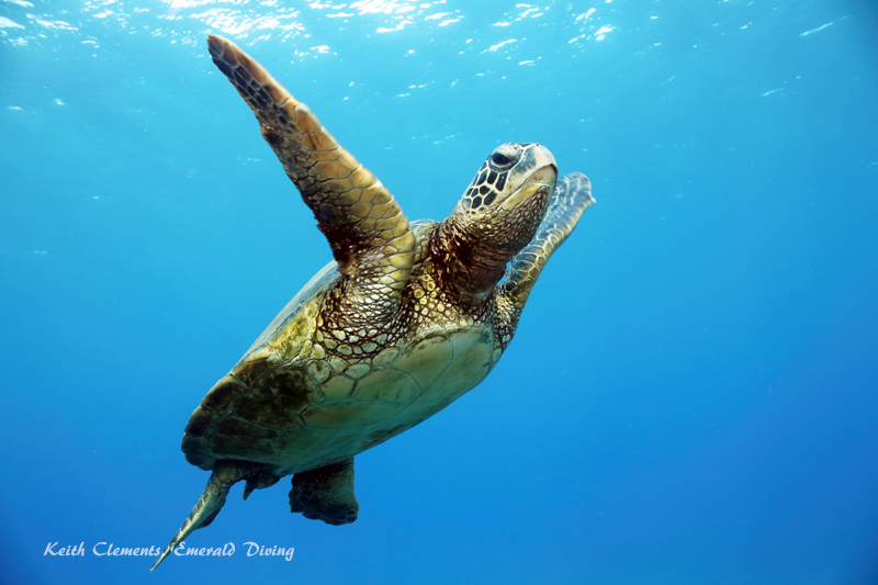 Sea-Turtle_Green_MalaWharfHI_9956