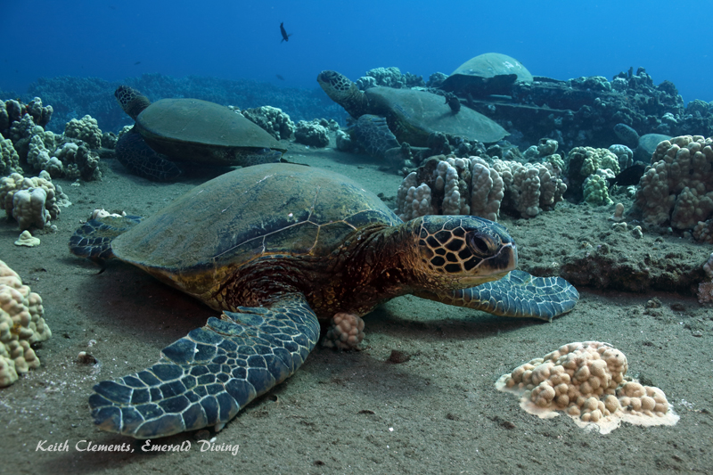 Sea-Turtle_Green_MalaWharfHI_9961