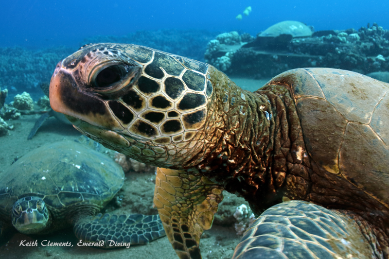 Sea-Turtle_Green_MalaWharfHI_9962